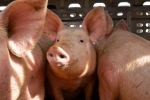 ASF w Chinach może przełożyć się na zwiększenie eksportu wieprzowiny z UE