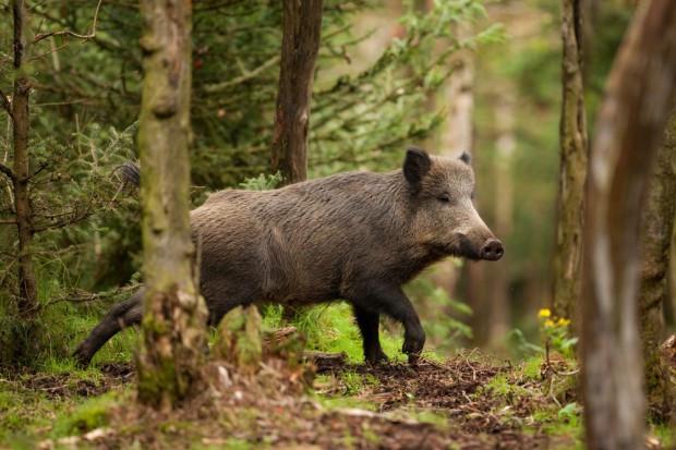 Afrykański pomór świń dotarł do Belgii