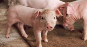 ASF może wykończyć zakłady mięsne