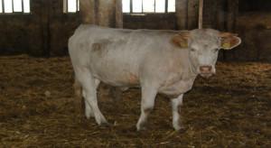 PSL chce pomagać w otwieraniu hodowli bydła mięsnego