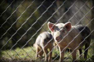 ASF spowolni tempo wzrostu produkcji i eksportu wieprzowiny w 2018 roku