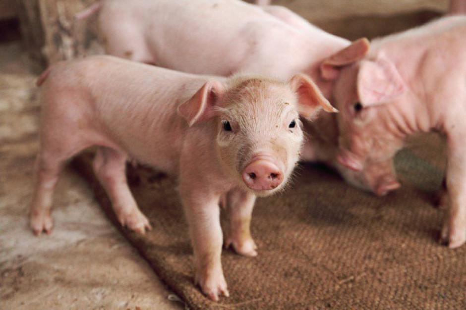 Chiny: Ceny świń zależne od ASF