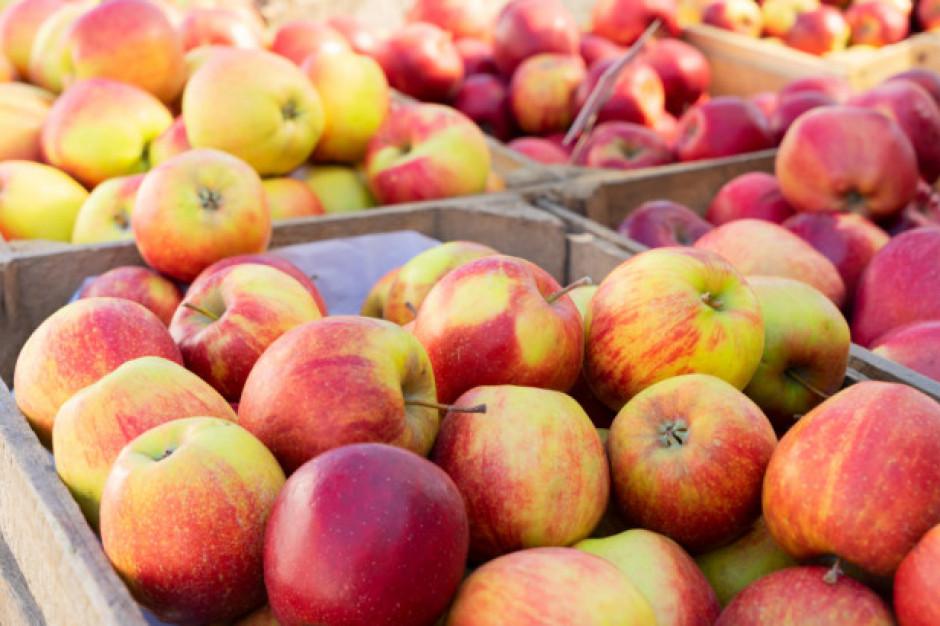 Sadownik wyrzucił tony jabłek w pole