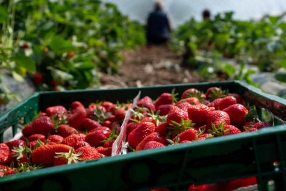 Jesienne truskawki i maliny: Owoców sporo, ale nie ma pracowników do zbiorów