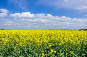 Kolejna obniżka prognozy zbiorów zbóż i rzepaku