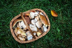 Borowik wysmukły - nowy gatunek grzyba w Polsce. Ekspertka radzi utylizować