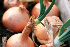 Zbiory cebuli o połowę niższe niż przed rokiem