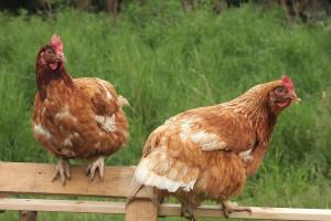 Spożywczy giganci powołali koalicję na rzecz dobrostanu zwierząt