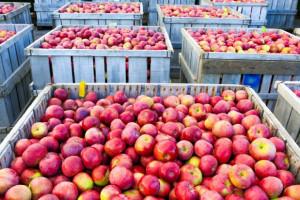 Ekspert: W tym sezonie do zagospodarowania jest 2,17 mln ton jabłek deserowych