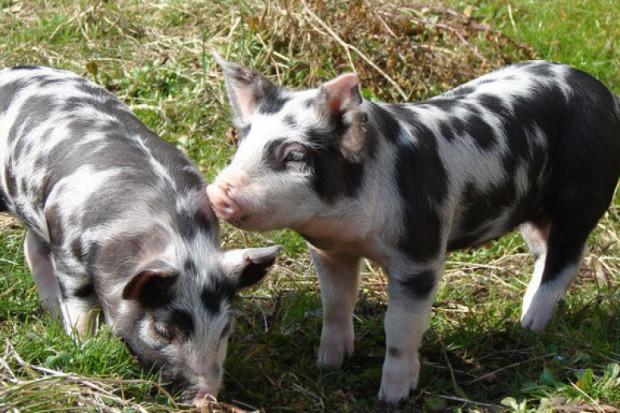 ASF zagrozi istnieniu świń rasy puławskiej?