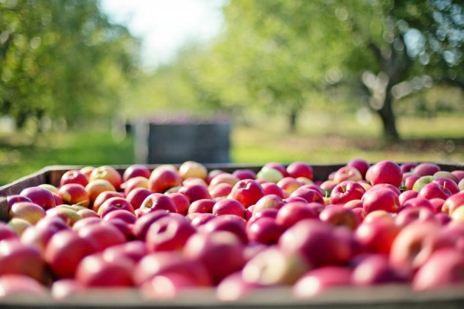 Spółka Eskimos będzie skupować jabłka w ramach pomocy sadownikom