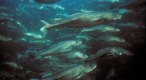 Nadzieja dla bałtyckich ryb. Co z nadmiernymi połowami?