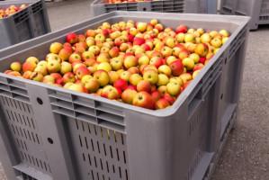 KUPS: Jesteśmy zdziwieni i zaskoczeni nagłą decyzją MRiRW nt. skupu jabłek