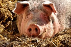 Chiny zakazują importu trzody chlewnej z Belgii i Bułgarii z powodu ASF