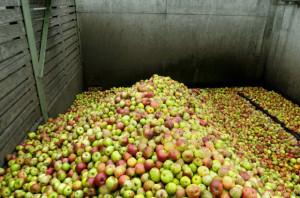 Eskimos o planowanym skupie jabłek: Ogromna presja opóźnia osiągnięcie celów