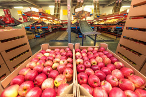 Eskimos opublikował ostateczną listę punktów interwencyjnego skupu jabłek