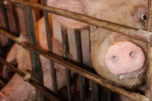 USA blokują polską wieprzowinę
