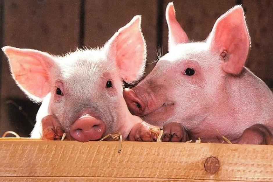 USA zawieszają import polskiej wieprzowiny, mają zastrzeżenia do dwóch firm (wideo)