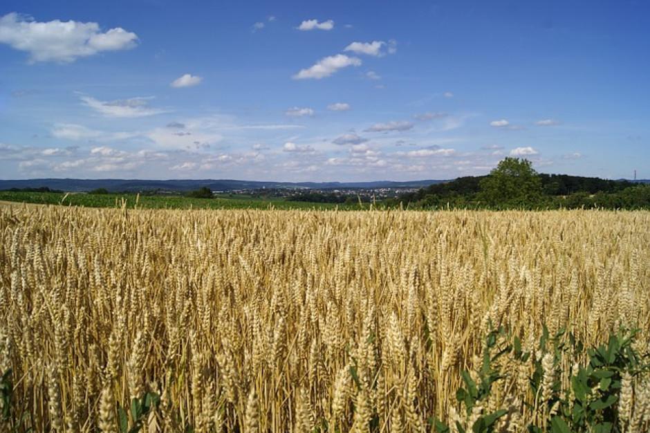 Droższe żyto, czyli wyższy podatek rolny w 2019 r.
