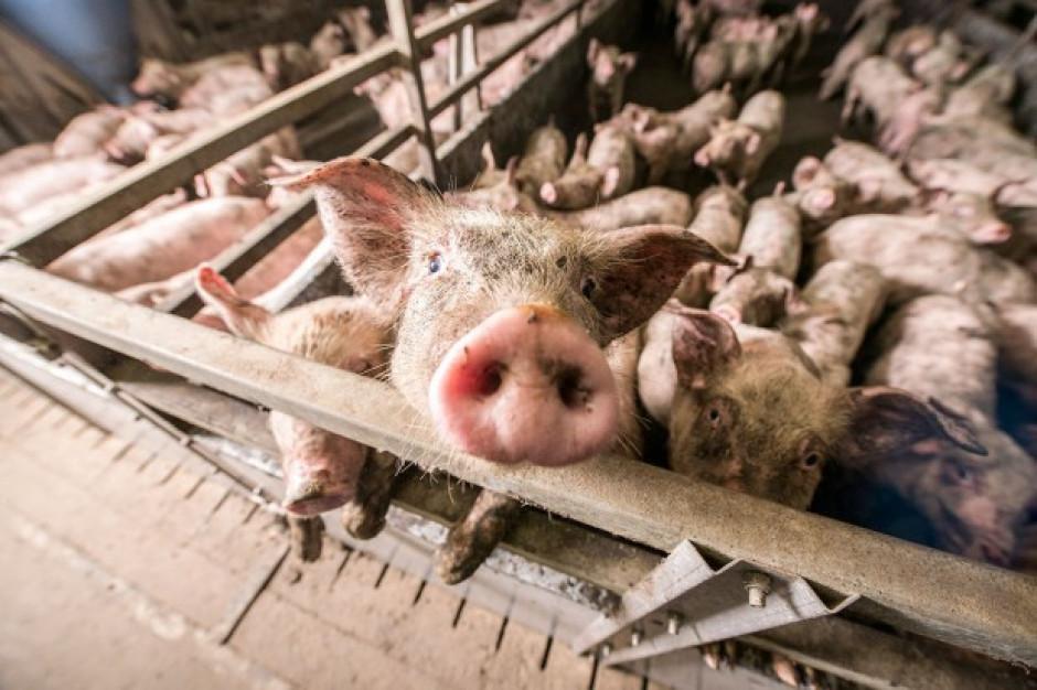 W Chinach uśpiono ponad 200 tyś świń