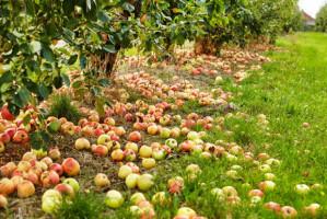 Sadownicy z obawą pytają: Co dalej z jabłkami?