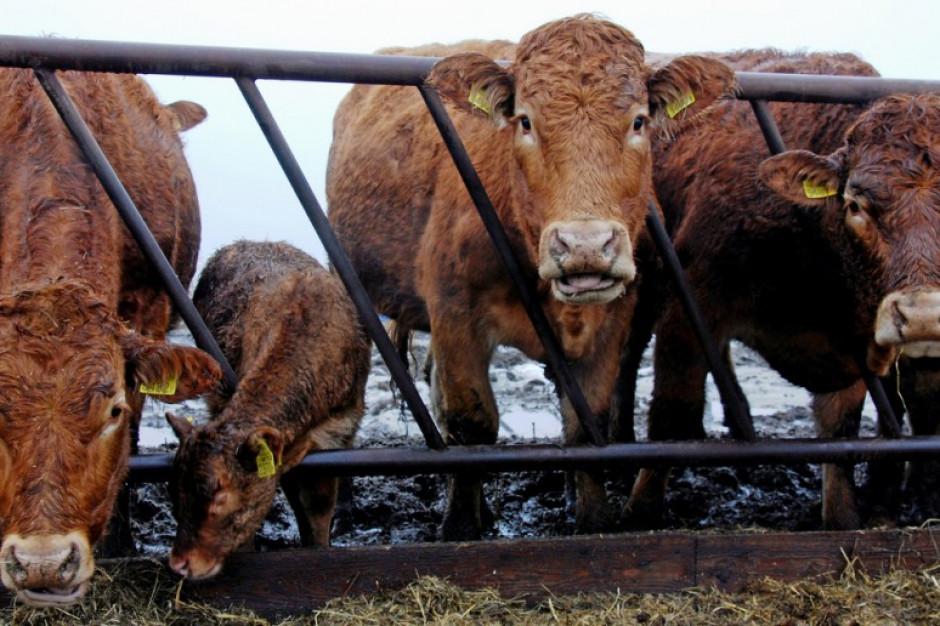 Przypadki BSE w Szkocji mogą zaszkodzić drobiarstwu w Polsce i nie tylko