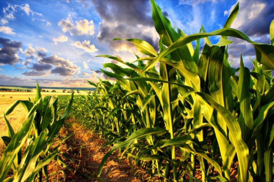 Zbiory kukurydzy w Polsce dobiegają końca