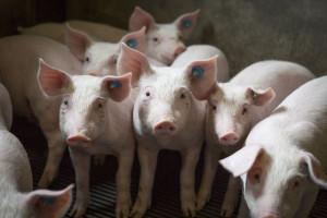 Chiny: Wykryto ASF w paszy dla zwierząt