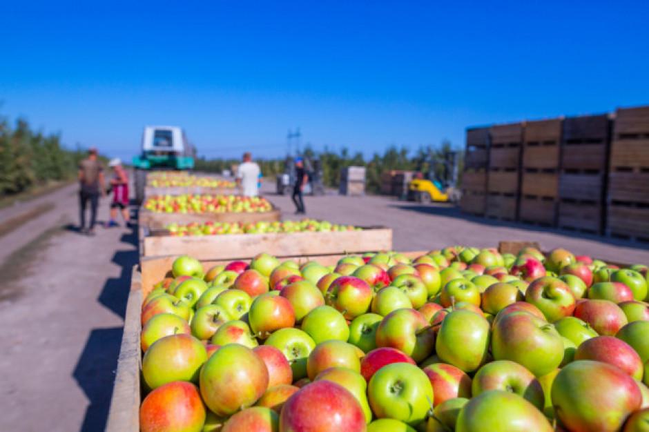 Stabilne ceny jabłek przemysłowych w skupach na Mazowszu