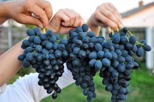 Mołdawskie winogrona stołowe zdobywają polski rynek