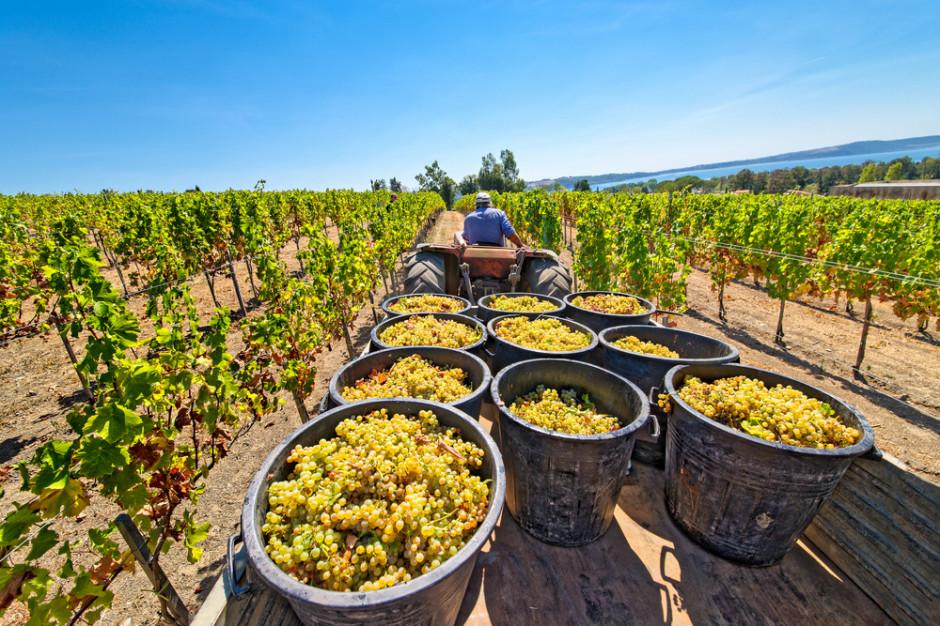 Rekordowy rok podkarpackich winnic: 12 ton winogron z hektara