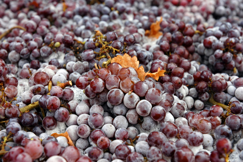 Winiarze skorzystali z mroźnej pogody. Robią lodowe wino