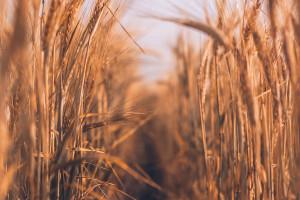 Credit Agricole: Największe wzrosty cen zbóż już za nami