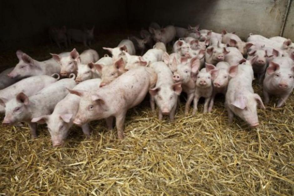 Opłacalność produkcji trzody zależy  m.in. od  kosztów żywienia