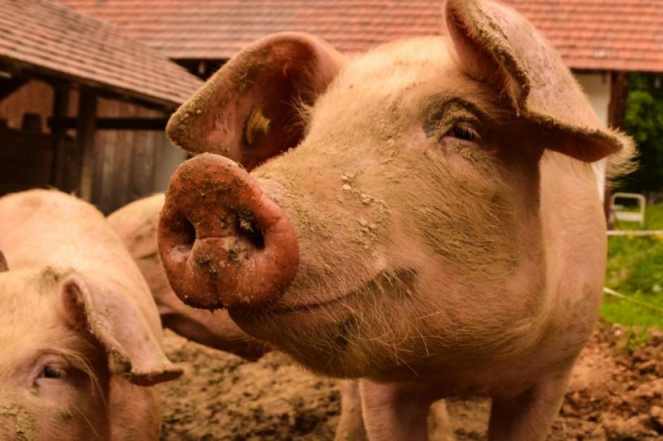 GLW: Nie było importu do Polski belgijskich świń ze stref dotkniętych ASF
