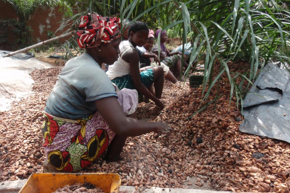 Sucha pogoda na Wybrzeżu Kości Słoniowej wpłynęła na wzrost cen kakao