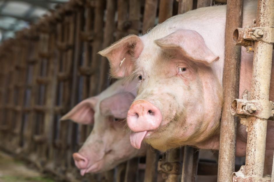 Prywatne przechowalnictwo wieprzowiny  niezbędne w przypadku szerzenia się ASF