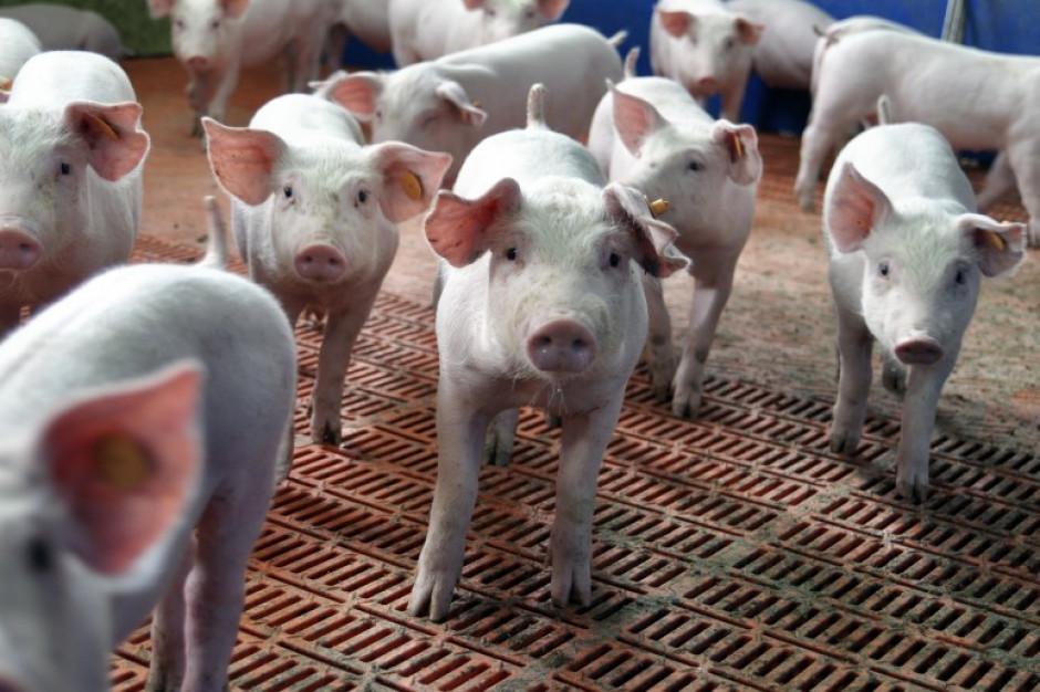 Litwa sprawdzi sprowadzane z Polski świnie i wieprzowinę