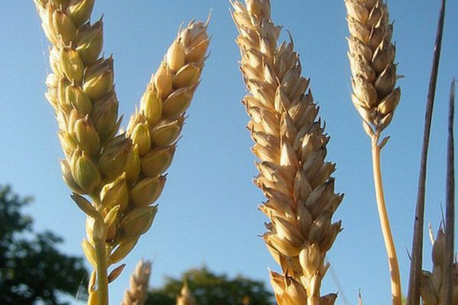 Na rynku zbóż możliwe są niewielkie podwyżki cen