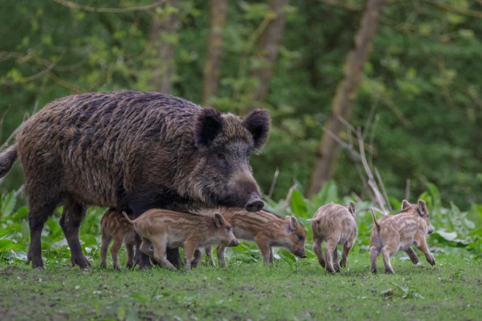 Posłowie PO apelują o wstrzymanie polowań na dziki