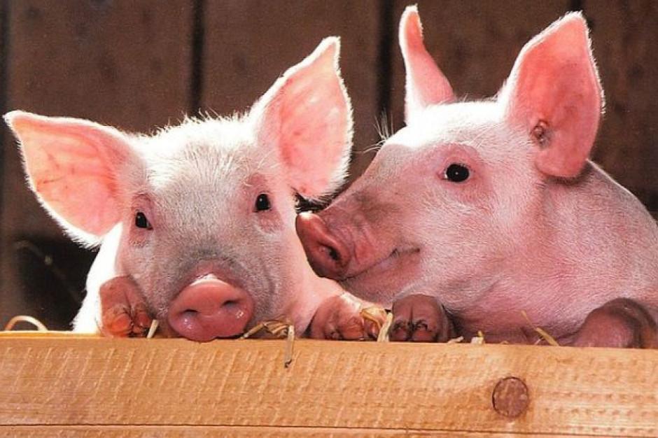 Pogłowie świń w Niemczech spadło o blisko pół miliona sztuk