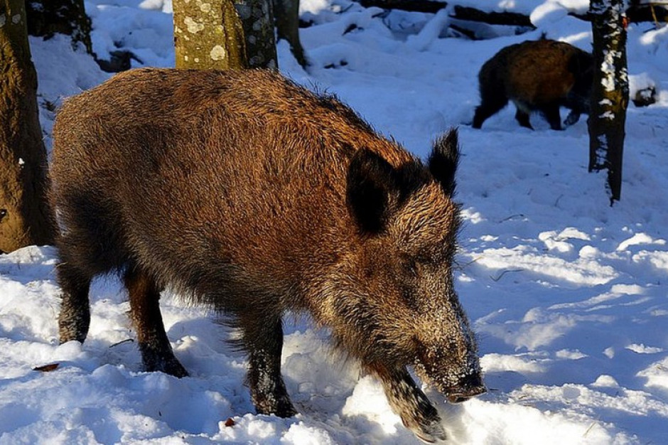 GLW: Dziki są głównym rezerwuarem wirusa ASF w środowisku