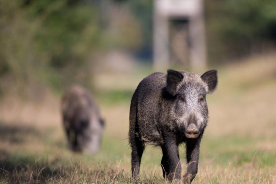 KE popiera plan odstrzału dzików i chwali polskie władze