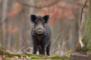 Branża mięsna popiera odstrzały dzików