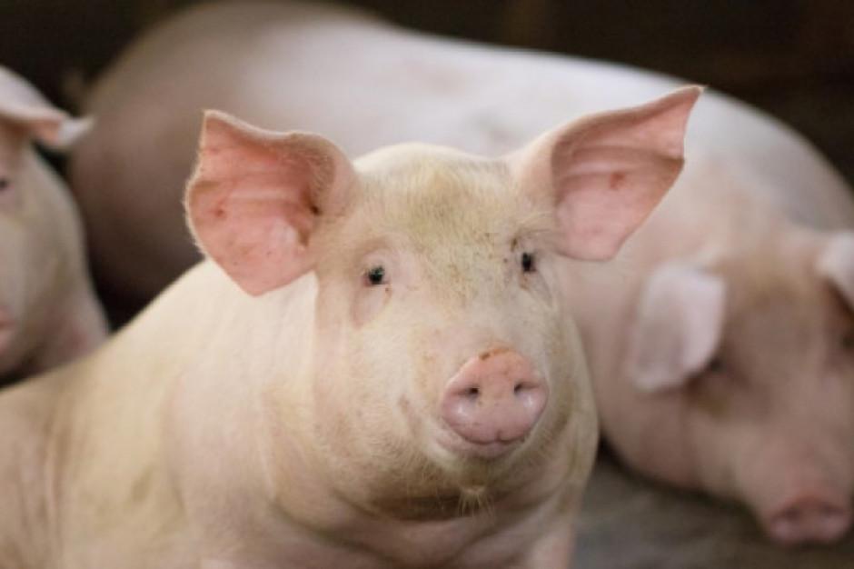 Resort rolnictwa Litwy: Polska przywróciła import litewskich świń
