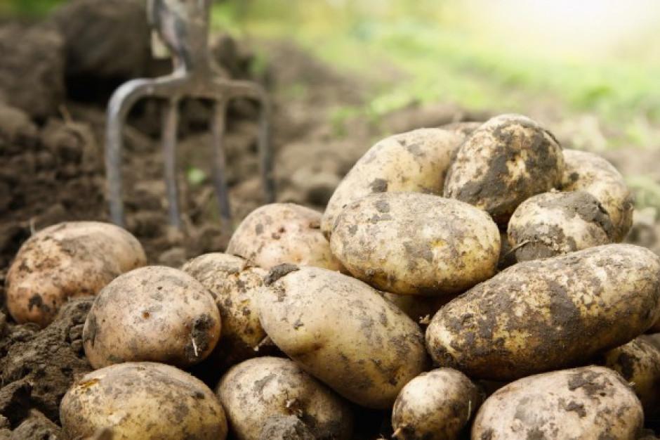IERiGŻ: Rosnące ceny niemieckich ziemniaków wpływają na poziom cen w Polsce