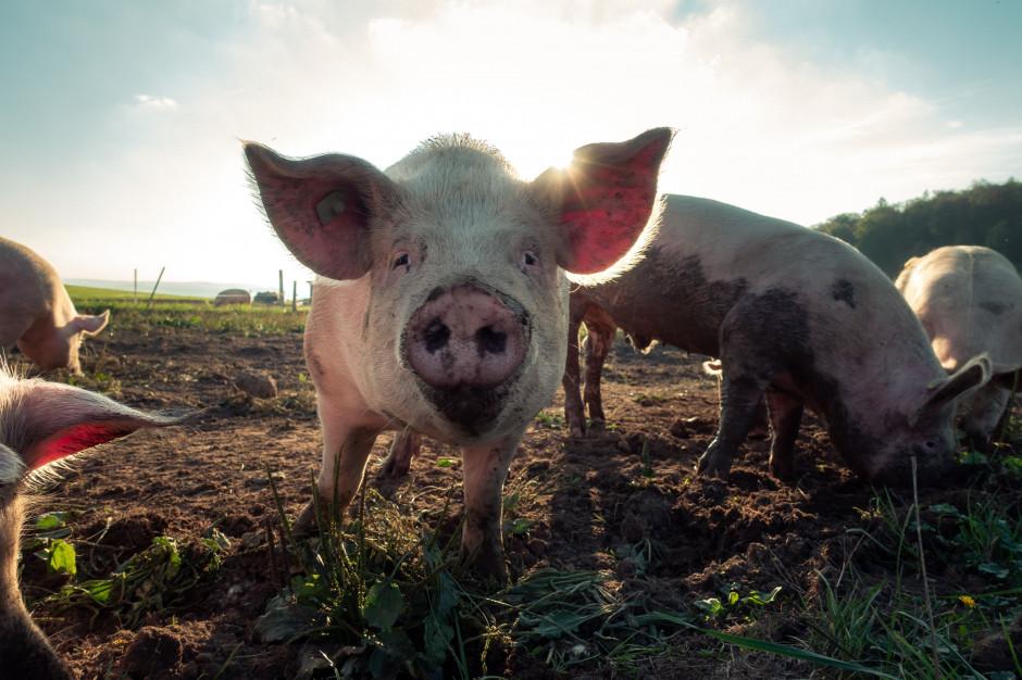 Do Polski trafiło ponad 1,2 mln szt. żywych świń niż rok wcześniej