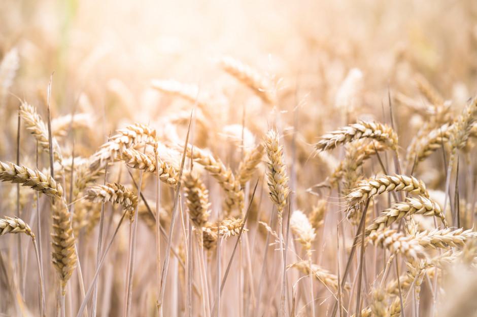 Niewielki eksport pszenicy z Polski