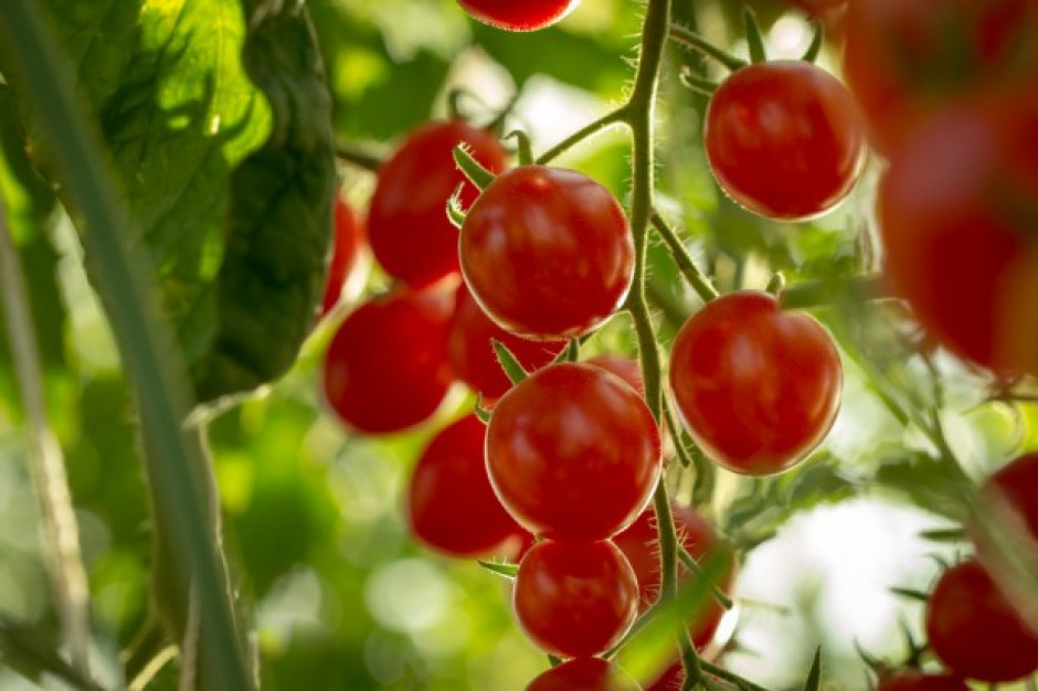 Test DNA rozwiązał zagadkę kradzieży pomidorków koktajlowych