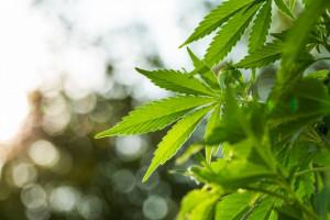 Parlamentarny zespół omówił dostęp do tzw. medycznej marihuany